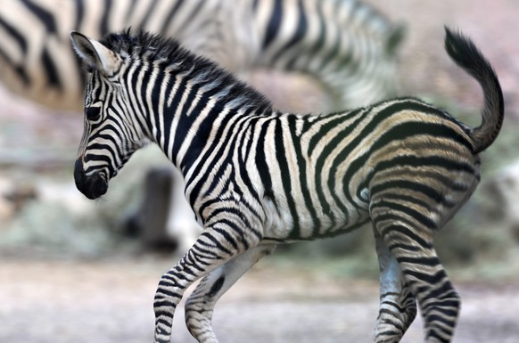 epa04305147 Zebra foal Ubangi runs throug its enclosure at the zoo in Dresden, Germany, 08 July 2014. The foal was born on 30 June 2014.  EPA/MATTHIAS HIEKEL