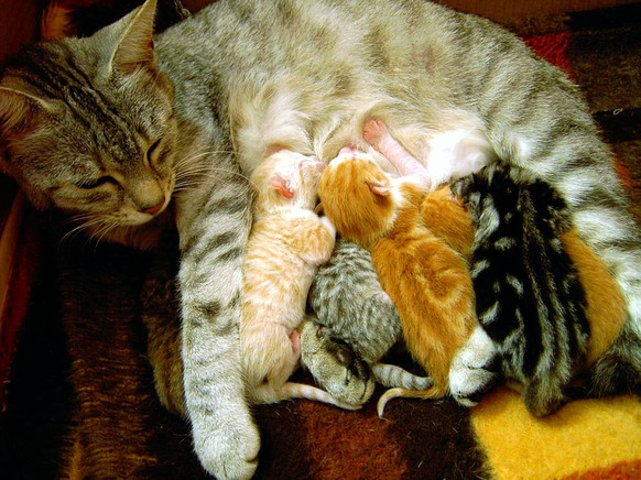 Katze mit Jungenhttps://de.wikipedia.org/wiki/Hauskatze#/media/File:Charline_the_cat_and_her_kittens.jpg