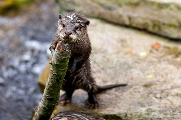 Four Asian small-clawed otter pups, born in January, join their family to play, tumble and tussle at their public debut Thursday, April 24, 2014, at Woodland Park Zoo in Seattle, Wash.  (AP Photo/seattlepi.com, Jordan Stead)