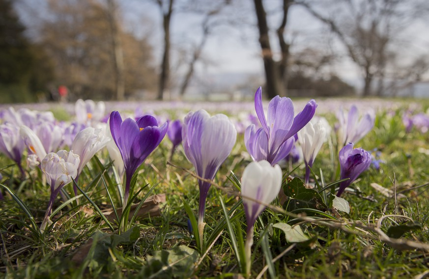Krokusse und andere Fruehlings-Blumen wachsen in einem Park an den Ufern des Zuerichsees in Zuerich, am  Samstag, 19. Maerz 2016. (KEYSTONE/Cyril Zingaro).