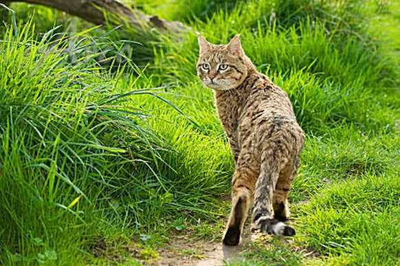 Asian Wild Cat (Felis silvestris ornata) adult male, standing, looking over shoulder, captionArco Images GmbH