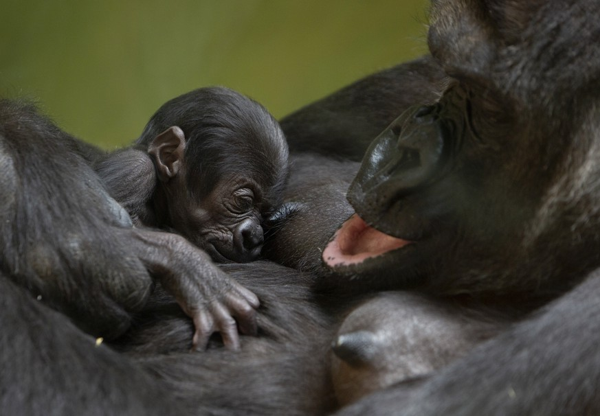 Western lowland gorilla Mambele, right, clutches her nine day old baby, yet unnamed, at the Antwerp Zoo in Antwerp, Belgium, Friday, July 3, 2020. (AP Photo/Virginia Mayo)