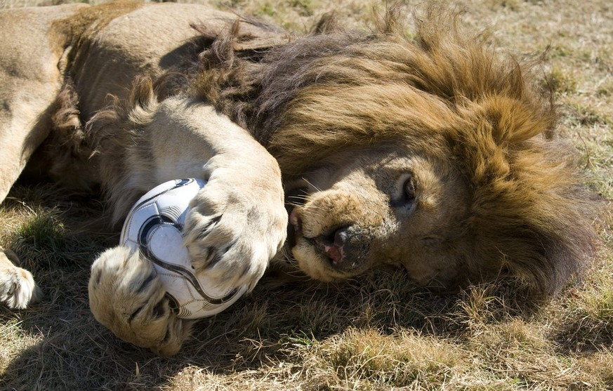 epa02202197 A lion at the Ranch Hotel with a ball in Polokwane, South Africa, 14 June 2010.  EPA/BRIAN STEWART