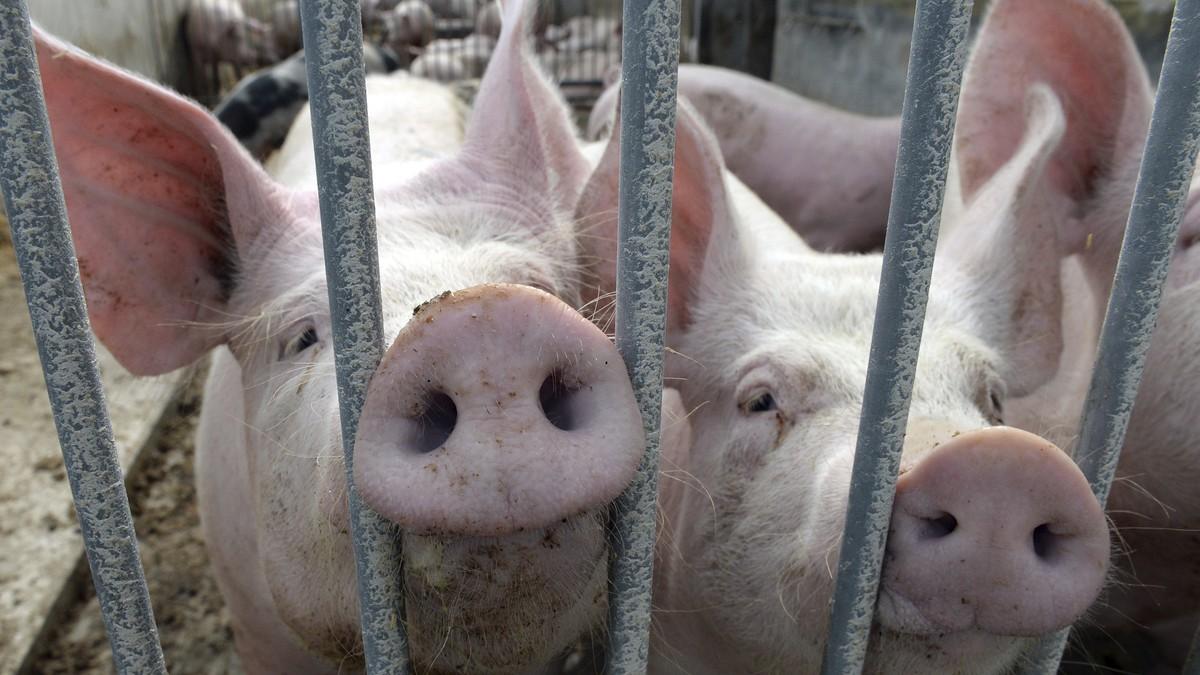 Schwein mit Menschlicher Sex Mature Zoo