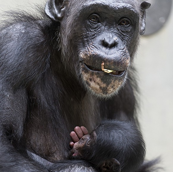 Young chimpanzee Lazima, born on July 29, lingers with mother Benga (34) in the zoo in Basel, Switzerland on Wednesday, August 13, 2014. (KEYSTONE/Georgios Kefalas)