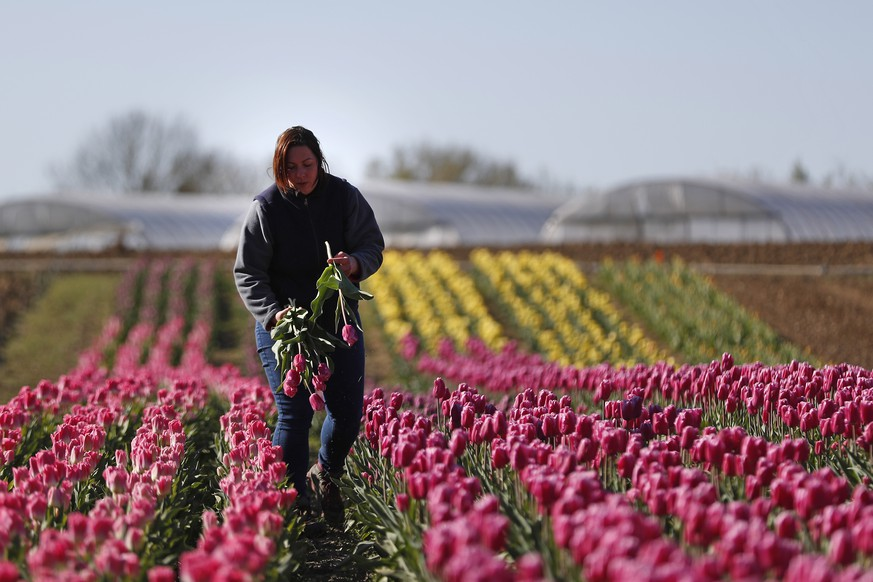 epa08332263 Severine Hervy, a French horticulturist and owner of Les Serres de Misery, prepares a bouquet of tulips in her field of flowers crops in Vert-le-Petit, South of Paris, France, 30 March 2020. France is under lockdown in an attempt to stop the widespread of the SARS-CoV-2 coronavirus causing the Covid-19 disease. Since French government has announced a temporary stop to all construction works and other non-essential economic activities, Severine had to put 6 employees of her staff on partial unemployment.  EPA/YOAN VALAT